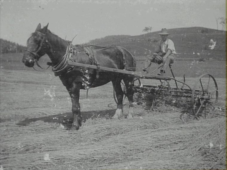 Harold Perkins father on horse drawn rake at Cawdor