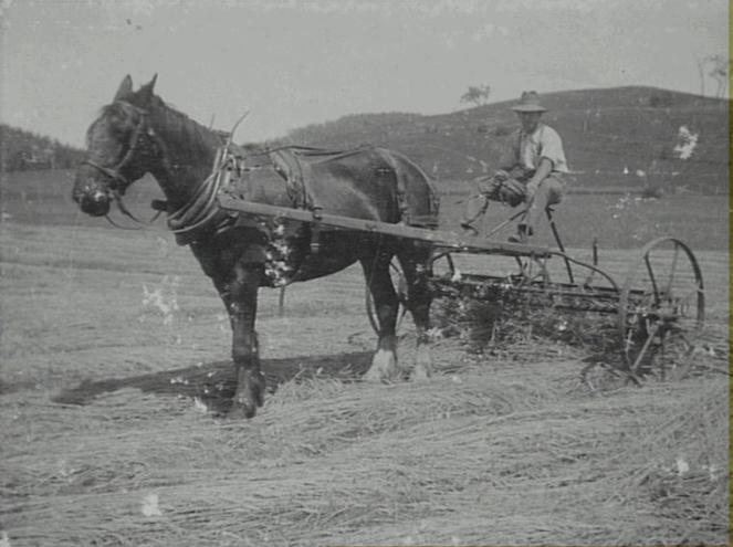 Harold Perkins father on horse drawn rake at Cawdor