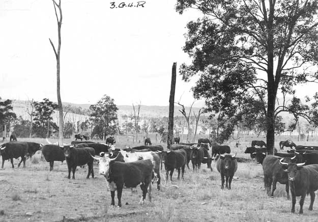 Cowpastures cattle here Grafton 1875 SARNSW