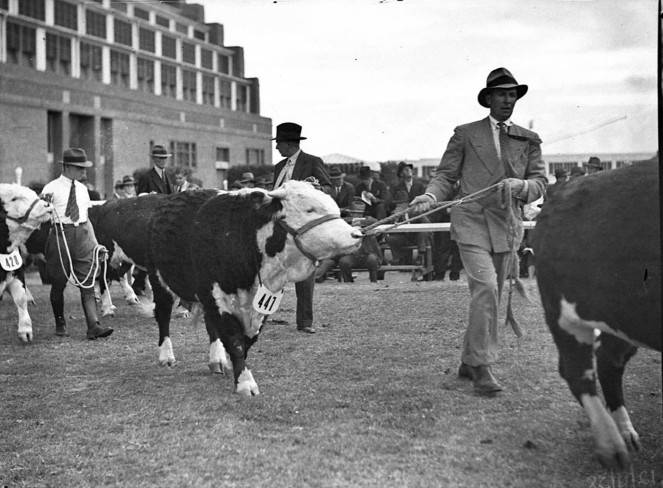 sydney royal easter show cattle parade sam hood 1938 slnsw 17102h