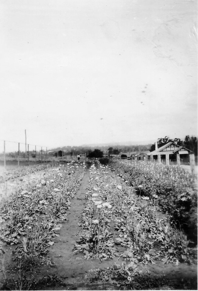 Elderslie (O) looking towards house in 34 River Road 1925 MPatterson