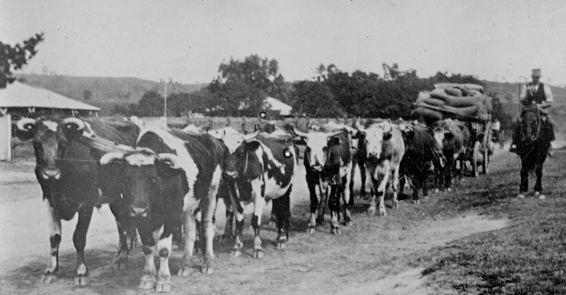 Mount Hunter Davy Nolans bullock team at Mt Hunter 1920s TOHS